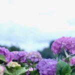 写真:紫陽花